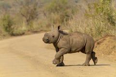 Noshörningkalv på flyttningen Arkivbilder