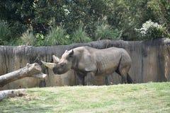 Noshörningnoshörning fotografering för bildbyråer
