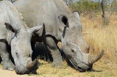 Noshörningnoshörning Afrika Savannah Rhinoceroses Rhinos Arkivbilder