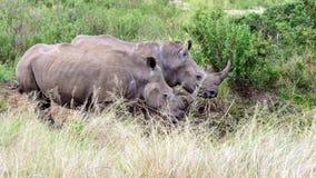 Noshörningpar på gräs- waterhole Arkivfoto
