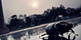 Noshörningskalbagge fotografering för bildbyråer