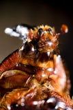 Noshörningskalbaggen är gemensam Royaltyfria Bilder