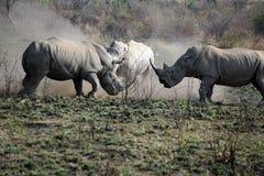 Noshörningtjurstridighet i den Pilanesberg nationalparken arkivfoton