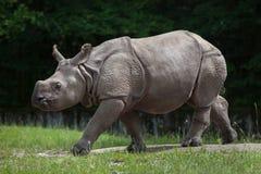 Noshörningunicornis för indisk noshörning royaltyfria bilder