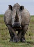 noshörningwhite Royaltyfri Fotografi