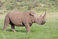 noshörningwhite Arkivbild