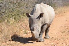 noshörningwhite Arkivbilder