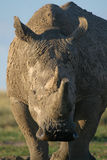 noshörningwhite Royaltyfri Foto