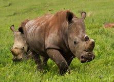 noshörningwhite royaltyfri bild