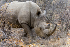 Noshörning i större Kruger nationalpark, Sydafrika Arkivbild