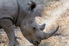 Noshörning i större Kruger nationalpark, Sydafrika Arkivfoton