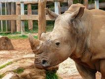 Noshörning i zoo Arkivfoton