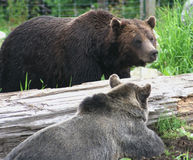 nosi Canada grizzly Obraz Royalty Free