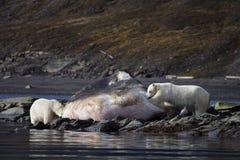 nosi sperma polarny się wieloryba do prania Zdjęcia Royalty Free