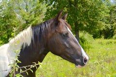 Nosie-Pferdekopf Stockbild