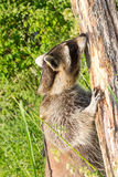 A Raccoon snuffling at a tree. Royalty Free Stock Photography