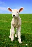 Nosiness Lamb Royalty Free Stock Photography