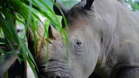 Nosorożec łasowania trawa od ludzkie ręki zbiory