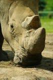 Nosorożec łasowania trawa pokojowo Zdjęcie Stock
