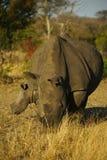 Nosorożec łydka i krowa Fotografia Royalty Free