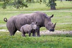 Nosorożec łydka w parku i matka Fotografia Royalty Free