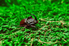 Nosorożec ściga na trawie zdjęcia royalty free