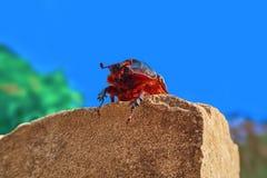 Nosorożec ścigi kobieta zdjęcie royalty free