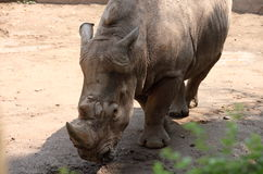 nosorożec Zdjęcie Royalty Free