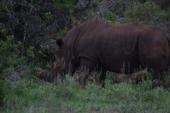nosorożec afrykańska white Obrazy Royalty Free
