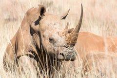 nosorożec afrykańska white Zdjęcia Royalty Free