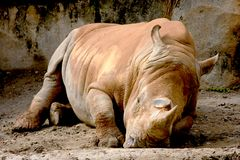 nosorożec biel Zdjęcie Stock