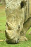 nosorożec biel Obrazy Stock
