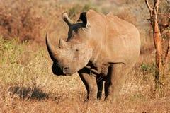 nosorożec biel Obrazy Royalty Free