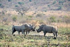Nosorożec byków bój w Południowa Afryka fotografia royalty free