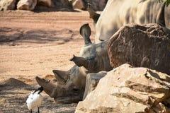 Nosorożec Ceratotherium simum simum zdjęcie stock