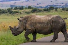 Nosorożec chodzi przez drogę Obrazy Royalty Free