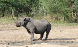 Nosorożec, czarny afrykanin Rzadki i zagrożoni gatunki, - krowy władza Fotografia Royalty Free