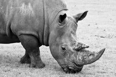 nosorożec czarny biel Obrazy Royalty Free