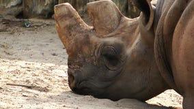 Nosorożec dzikie zwierzę zbiory wideo