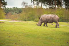 Nosorożec iść na łąkowym spacerze Fotografia Royalty Free