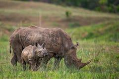 Nosorożec i łydkowy Południowa Afryka Zdjęcia Royalty Free