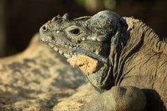 Nosorożec iguana Zdjęcia Royalty Free