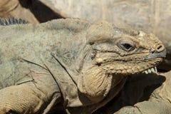 Nosorożec iguana Fotografia Stock