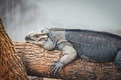 Nosorożec iguany lying on the beach na gałąź - Cyclura cornuta obraz royalty free