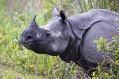 nosorożec indyjska Zdjęcie Stock