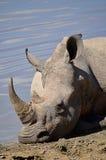 Nosorożec kłaść wodopojem Obrazy Royalty Free