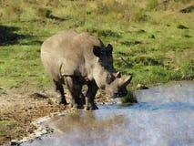Nosorożec malować zdjęcie royalty free