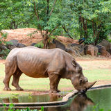 Nosorożec (nosorożec) Obrazy Stock