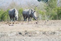 Nosorożec obserwować fotografia stock