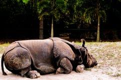 Nosorożec odpoczywać obraz royalty free